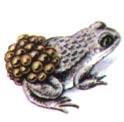 Биологический словарь / Жаба повитуха
