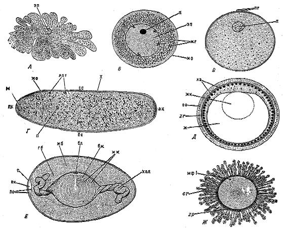 Строение яиц