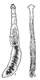 цестода личинка которой опасный паразит человека