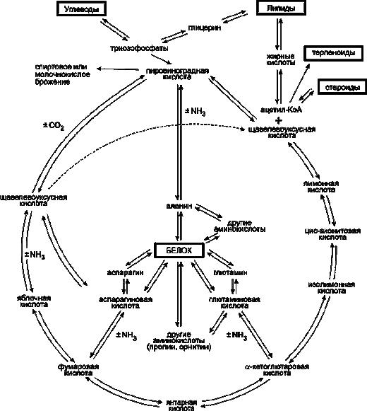 Схема стадий обмена веществ