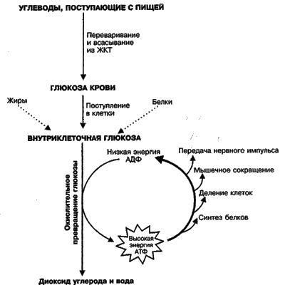 анаэробного гликолиза,