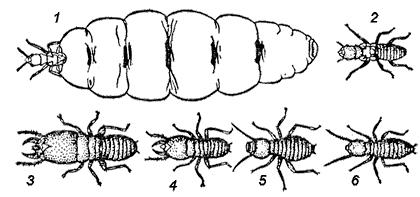 Один вид муравьем может иметь несколько форм тела